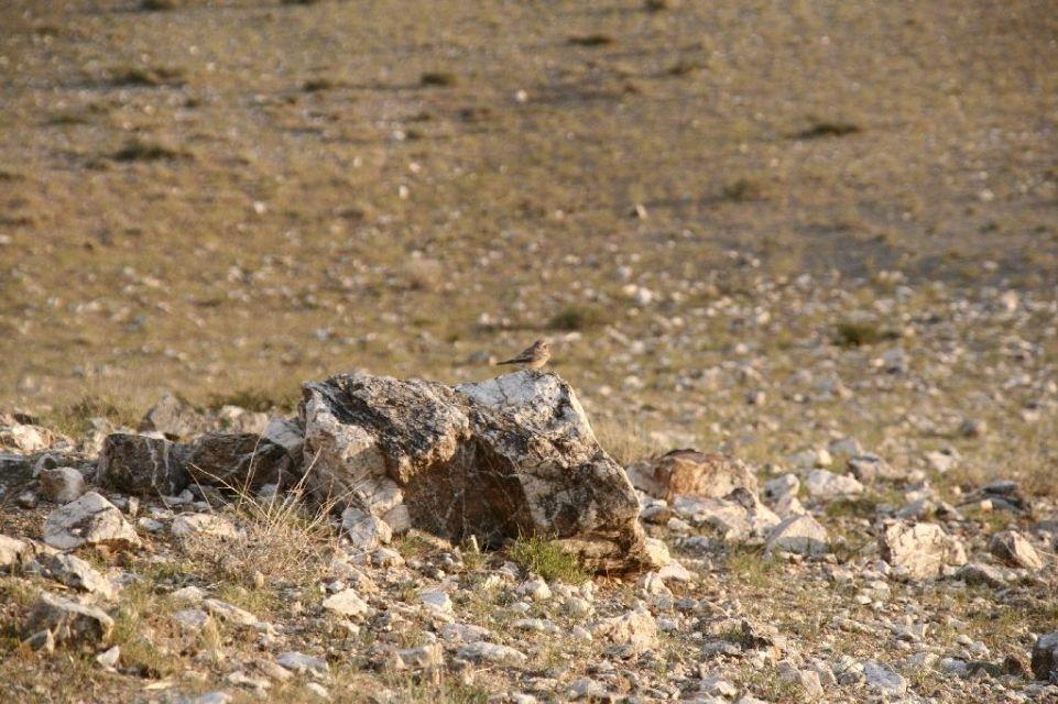 Mongolei,Vogel