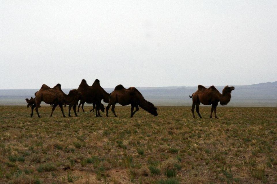 Mongolei,Kamel