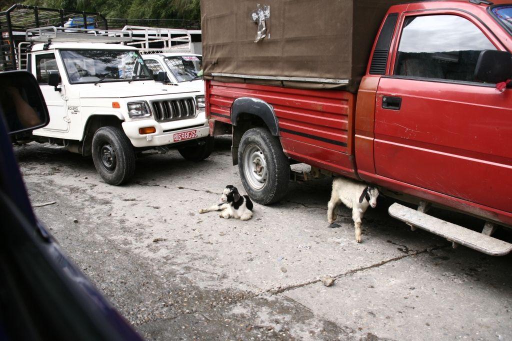 Ziege,Verkehr,Nepal