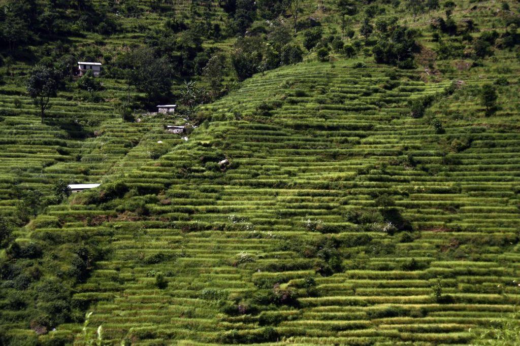 Grün,Nepal,Reisfelder