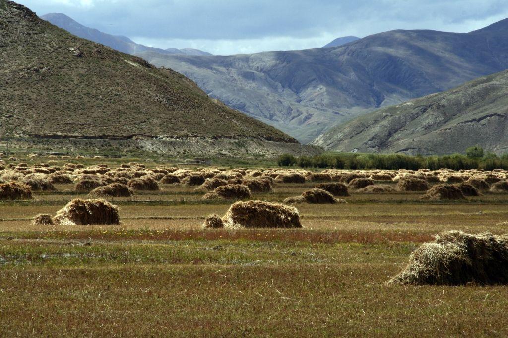 Tibet,Barley